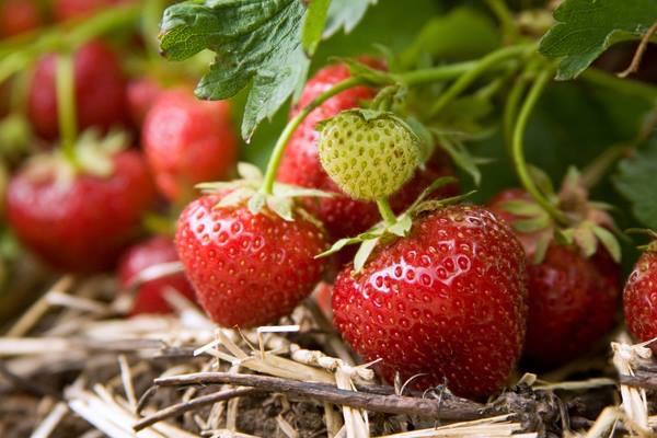 Time to Plant Your Strawberries!