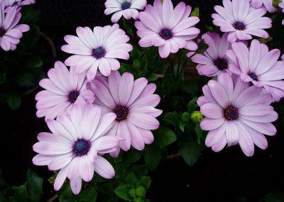 flowers50