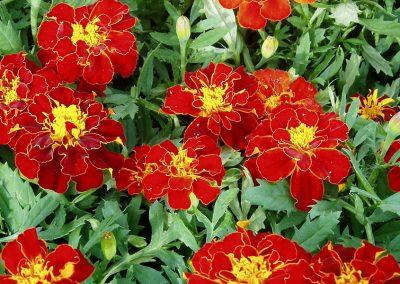 flowers81